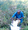 Organic Cotton Cultivation: A Revolution in Agriculture